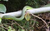 生態:青蛇