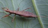 生態:細身獵椿之若蟲?
