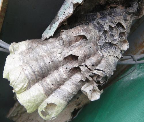 棕長腳蜂的巢? - 生態