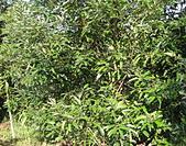 生態:肉桂(川桂)之植株