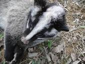 生態:被流浪野狗咬死的白鼻心