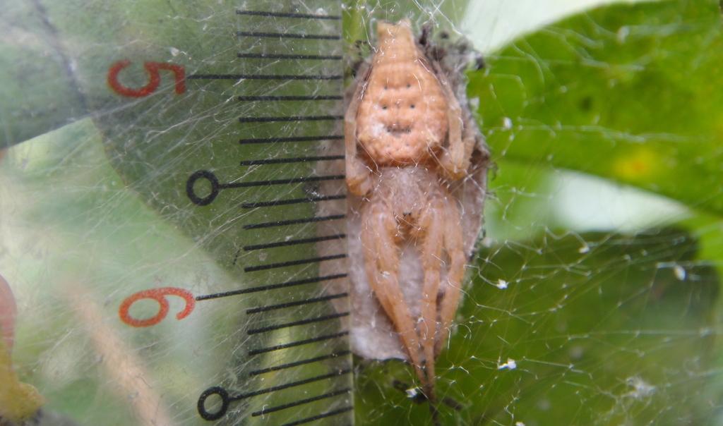 生態:方格雲斑蛛