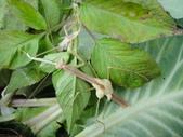 生態:大螳螂羽化