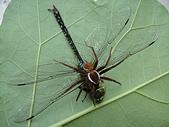 生態:被褐腹狡蛛捕食的麻斑晏蜓
