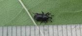 生態:小象鼻蟲?