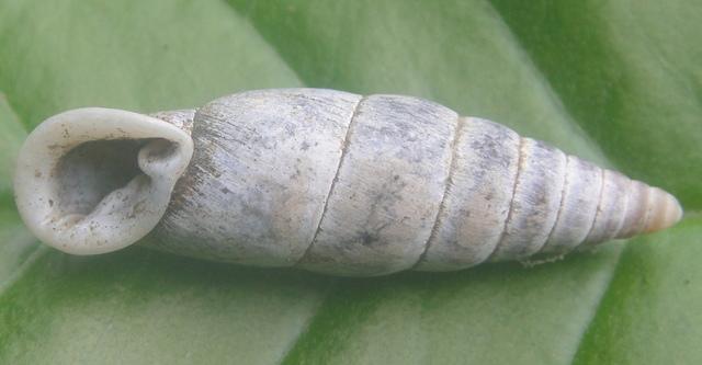 煙管蝸牛之一 - 生態