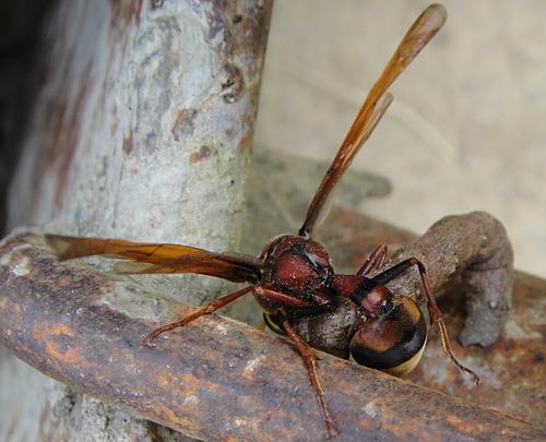 黃胸泥壺蜂與尺蠖蟲