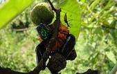 生態:成熟與未熟枝構樹果實及昆蟲