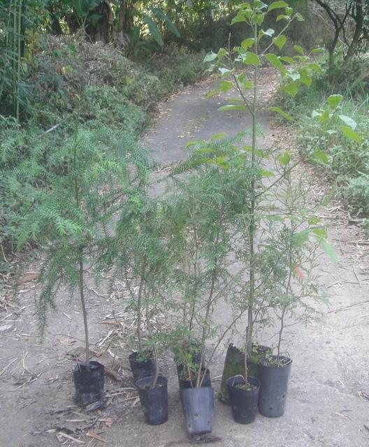 選購了臺灣紅檜2棵、臺灣扁柏2棵、臺灣杉2棵、臺灣肖楠2棵、牛樟樹1棵小樹苗 - 田園生活