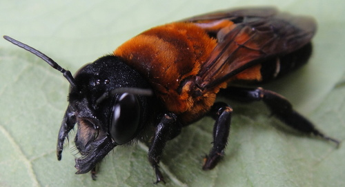 木蜂之一?:木蜂Xylocopa sp. (待分類) - 生態