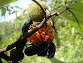 生態:成熟構樹果實與昆蟲
