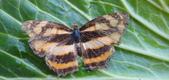 生態:黃三線蝶?