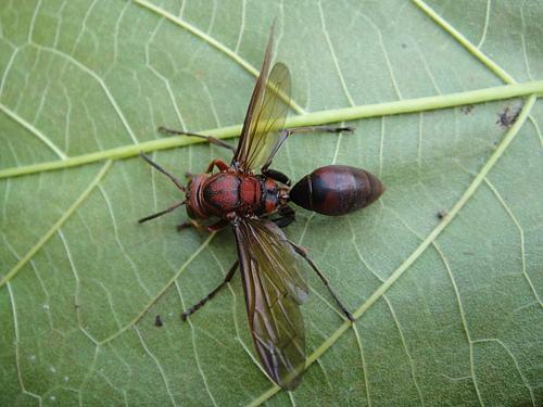 褐長腳蜂之工蜂?