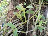 生態:天宮石斛(瀑布蘭)在活樹幹上的植株