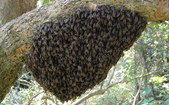 生態:103.02.27日中國蜂分蜂(分巢)群