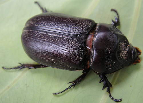 犀角金龜 - 雌蟲 - 生態