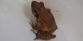 生態:梭德氏蛙