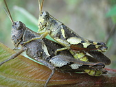生態:短角異斑腿蝗(交尾中)