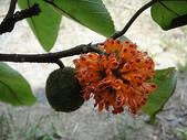 生態:成熟與未熟枝構樹果實