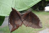 生態:紫蛇目蝶之愛