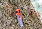 生態:黑翅蟬的羽化