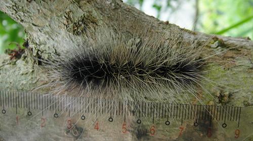 巨網苔蛾之幼蟲