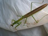 生態:雄大薄翅螳螂