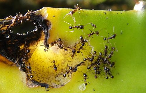 熱烈大頭蟻啃食紅龍果莖條