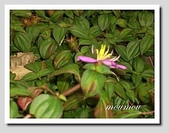 flower:蔓性野牡丹1.jpg