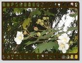 flower:木芙蓉07.jpg
