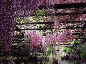 flower:紫藤07.jpg