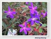 flower:zoo-紫花野牡丹02.jpg