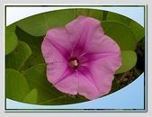 flower:馬鞍藤03.jpg