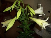 flower:百合01.jpg