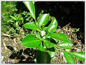 木本植栽.七里香:990629_02.JPG