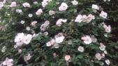玫瑰花:IMAG4651.jpg
