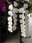 蕙質蘭心-雅蘭欣賞:典雅的蘭花152