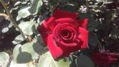 玫瑰花:IMAG4827.jpg