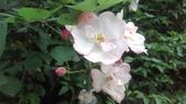 玫瑰花:IMAG4645.jpg