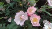 玫瑰花:IMAG4649.jpg