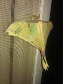 自由的精靈:紗窗上鵝黃色的水青蛾4