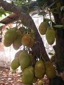 越南胡志民:越南到處可見的菠蘿蜜2