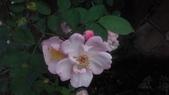 玫瑰花:IMAG4646.jpg