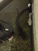 自由的精靈:一米五長的鱸鰻