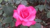 玫瑰花:IMAG4652.jpg