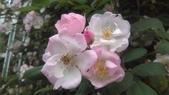 玫瑰花:IMAG4648.jpg