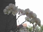 蕙質蘭心-雅蘭欣賞:典雅的蘭花146