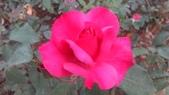 玫瑰花:IMAG4655.jpg