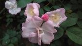 玫瑰花:IMAG4647.jpg