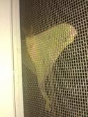 自由的精靈:紗窗上鵝黃色的水青蛾2